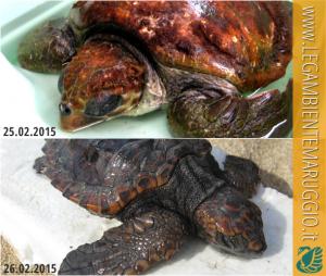 Stanno bene e presto saranno liberate le due tartarughe caretta-caretta ritrovate a febbraio a Campomarino di Maruggio (Ta)