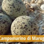 """Le spiagge di Campomarino di Maruggio ospitano importanti siti di nidificazione, del raro Fratino Eurasiatico. Scoperto e messo in sicurezza un nido in località """"Acquadolce"""" a cura della Legambiente di Maruggio"""
